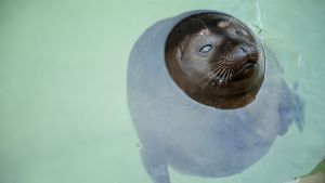 Tobias-saimaannorppa Korkeasaaren eläintarhassa.