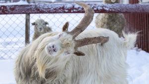 Geten Grizzly står på ett snöigt fält och poserar för kameran och lutar huvudet snett