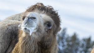 Kamelen som heter Spock tittar in i kameran i närbild