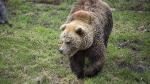 En björn ute och gå på gräsmattan.