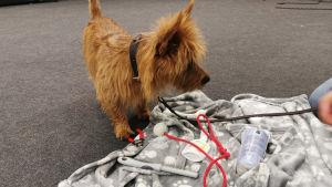 Hund och ägare på kurs i frivillig hantering.