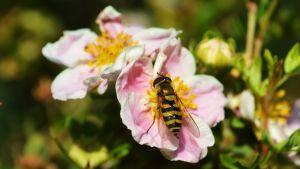En blomfluga mumsar på en rosa blomma.