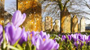 Violetteja kukkia kasvaa hautausmaalla.