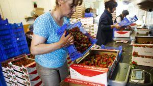 En ukrainsk säsongsarbetare förbereder jordgubbar för försäljning vid en gård i Suonenjoki i juli 2013.