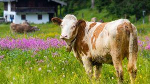 Lehmä on kauniilla niityllä.