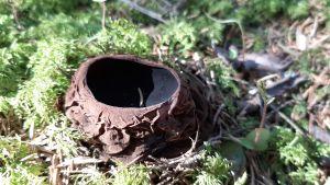 Vanhempi hytymaljakas-sieni Vetelissä Keski-Pohjanmaalla
