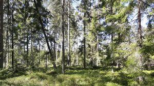 Solig skogsglänta