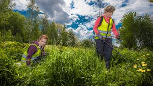 Emilia Kankare och Olivia Wahlroos, två ungar damer i gula skyddsvästar, tar bort invasiva främmande växter på ett frodigt grönt fält.