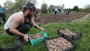 Parrakas mies siirtelee pellolla perunakoreja.