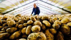 Iso kasa perunoita ja viljelijä taustalla, kirkkaassa valossa.
