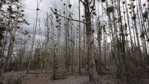 Merimetsojen pesimäsaari, kuolleita puita