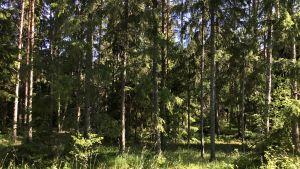 Vanlig skog med gran, tallar och lövträd. Sol, sommar.