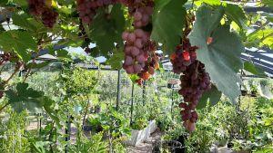 Vinrankor i Westers trädgård.