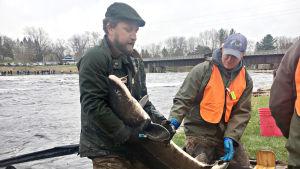 Dokumentti äärimmäisen uhanalaisesta sammesta ja työstä lajin pelastamiseksi.