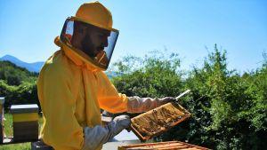 Luca Bianchi kontrollerar en vaxkaka, som bin alltid bygger för att lagra honungen. Bina sätter vaxlock när honungen är mogen att skördas.