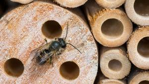 Luontodokumentti Suomen mesipistiäislajeista, joista joka kolmas on uhanalainen.