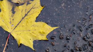 Gult höstlöv ligger på regntäckt asfalt.