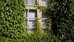 Ett fönster omkringat av grönsa väggväxter, sett utifrån.