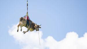 En ko flyttas med kran och hänger därmed fritt i luften mot en klar himmel.