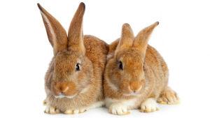 Två brunröda kaniner ligger bredvid varandra mot en vit bakgrund.