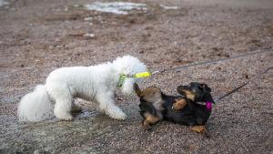 lemmikkikoirat leikkivät