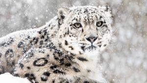 Talvisen luonnon selviytyjät uhmaavat jäätä ja pakkasta.