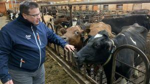 En man står i ett fähus i sällskap av kor