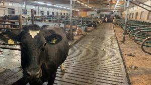 En svart ko står mitt i gången i ett stort fähus.