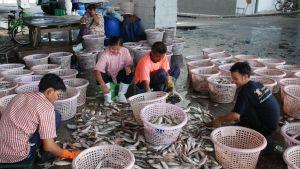 Några arbetare sitter bland korgar och rensar fisk.