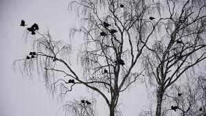 En flock kajor i ett träd.