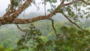 En trädgren hänger i Amazonas regnskog i förgrunden. I bakgrunden syns mer regnskog.