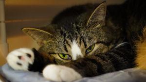 En liggande katt som tittar in i kameran. Katten ligger på en ljusblå filt.