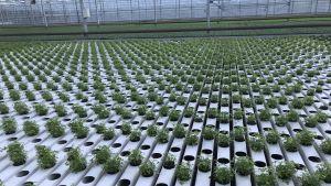 Örtodling i växthus