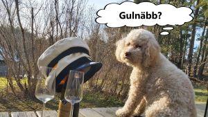 lurvig hund betraktar studentmössa, champagneglas och flaska och funderar vad ordet gulnäbb betyder
