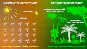 Palmuöljyn tuotanto on monikerroksisessa puutarhassa suurempi kuin monokulttuurisella pellolla.