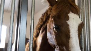 Hevonen karsinassaan Tuomarinkylän Ratsastuskoululla