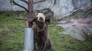 Björnen skrapar sig mot ett träd.