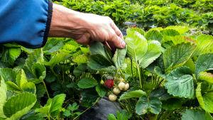 Jordgubbar i ett jordgubbsland.