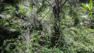Palmoljeplantage