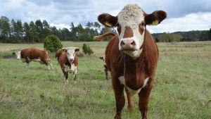 En brun ko står på en äng och ser in i kameran.