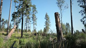 Hakkuuaukealle jätettyjä kuolleita puita