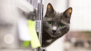 Katt tittar runt ett hörn.