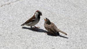 Fåglar på asfalt