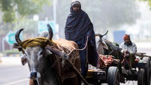 Män i oxdragna kärror i New Delhi 15.12.2020