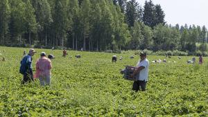 Jordgubbsplockare på ett grönt fält.