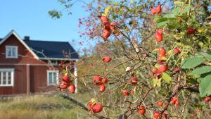En nyponbuske med röda bär framför ett rött hus med vita knutar.