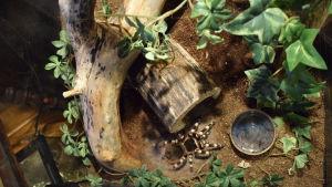 En svart tarantellaspindel med gula ränder på benen i ett inrett terrarium.