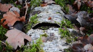 En björk ligger på marken, har hål i nävern. Mossa och bruna löv ligger omkring.