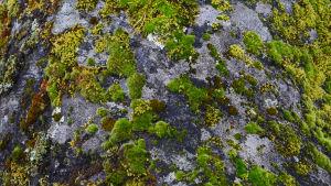 fotat uppifrån så att flera olika små mosspartier syns på en gråsten. Mossorna är i olika gröna nyanser och mossorna är olika mjuka.