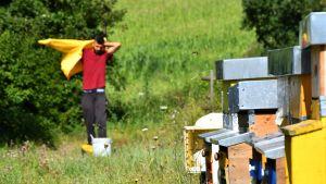 Bikupornas färger hjälper bina att hitta hem efter att ibland ha flugit så mycket som tre kilometer. Här går Luca på ängen och drar på sig skyddsutrustningen.